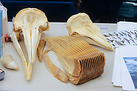 Pacific white sided dolphin, Lagenorhynchus obliquidens, harbour porpoise, Phocoena phocoena, Gray whale, Eschrichtius robustus, sperm whale, Physeter macrocephalus, comparison of tooth and baleen and difference in dolphin and porpoise skulls, Monterey bay, California, USA, Pacific Ocean