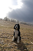 0730-0820  English Springer Spaniel, Canis lupus familiaris © David Kuhn/Dwight Kuhn Photography.