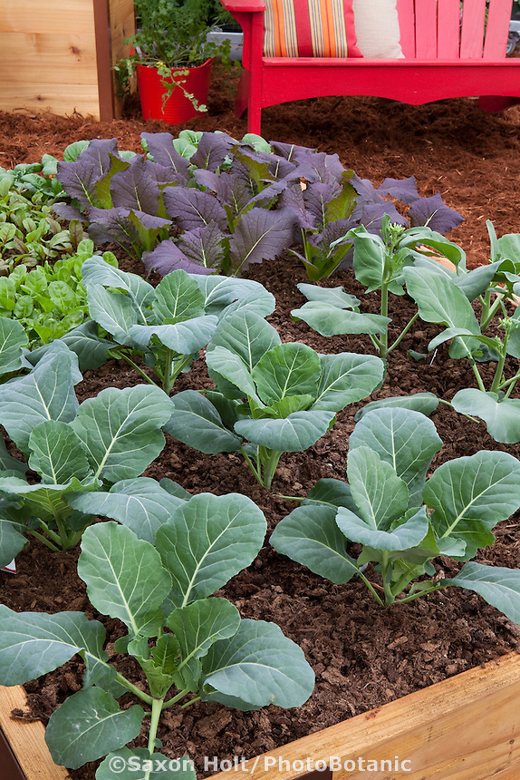 Broccoli and red mustard planted in raised bed square foot vegetable demonstration garden