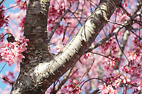 Stock photo - gorgeous pink cherry blossom tree bark and flowers in early spring in Georgia USA.