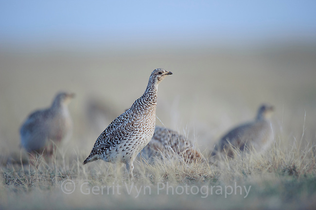 A group of female Sharp-tailed Grouse (Tympanuchus phasianellus) in the center of a lek. Ft. Pierre National Grassland, South Dakota. April.
