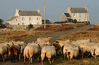 Europe/France/Bretagne/29/Finistère/Ile d'Ouessant: Fête des moutons - Troupeau de moutons