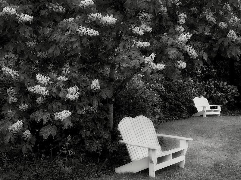 Chairs and flowering Horse Chestnut trees. Schrieners Iris Gardens. Oregon