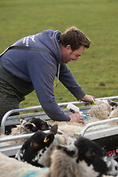 11/1/2021 Injecting in lamb ewes with Heptavac P<br /> ©Tim Scrivener Photographer 07850 303986<br />      ....Covering Agriculture In The UK....