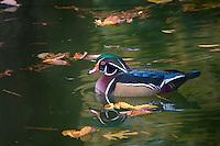 Wood Duck, Japanese Gardens, Fort Worth