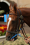 """DEL MAR, CA  JULY 30:  #2 Stellar Wind in the paddock before the Clement L. Hirsch Stakes (Gl) """"Win and You're in Breeders' Cup Distaff Division"""" at Del Mar Turf Club in Del Mar, CA on July 30, 2016. (Photo by Casey Phillips/Eclipse Sportswire/Getty Images)DEL MAR, CA  JULY 30: #2 Stellar Wind with Victor Espinoza beat Beholder and Gary Stevens in the Clement L. Hirsch Stakes (Gl) """"Win and You're in Breeders' Cup Distaff Division"""" at Del Mar Turf Club in Del Mar, CA on July 30, 2016. (Photo by Casey Phillips/Eclipse Sportswire/Getty Images)"""