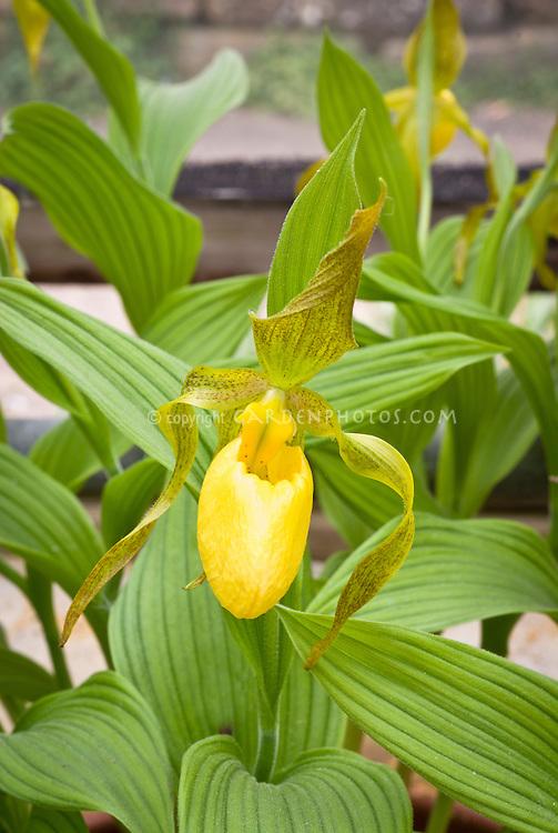 Cypripedium kentuckiense hardy orchids, American native wildflower, hardy lady slipper orchid