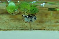 Wasserzwerg, Zwergrückenschwimmer, Zwerg-Rückenschwimmer, Plea minutissima, Plea leachi, Plea atomaria, pygmy backswimmer, Zwergrückenschwimmer, Pleidae, pygmy backswimmers