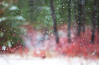 First snow, crimson blueberry bush abstract