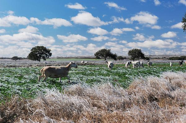 Farmland with sheep after ice rain, Dinero, Lake Corpus Christi, South Texas, USA