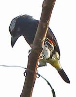 Female spot-crowned barbet