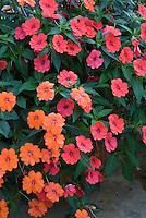 Trailing Impatiens 'Fanfare Orange' + 'Fanfare Coral'