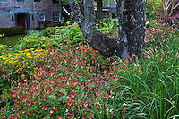 Aquilegia canadensis, Eastern red columbine, flowering red native wildflower in Claire Gargalli Virginia garden