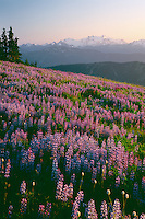Broadleaf lupine, American bistort and Mt. Olympus<br />   from Hurricane Ridge near Eagle Point<br /> Olympic National Park, Olympic Mountains<br /> Olympic Peninsula,  Washington