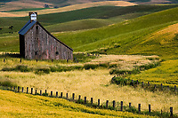 A fine art western landscape of an early American barn, circa 1800's, with a long slant down the right side of the roof and reddish barnwood among the grey barnwood, found in the Palouse region of Washington State and Idaho, U.S.A.  The surrounding curving wooden fence and barbed wire separate the barn and unharvested wheat from rolling hills of wheat changing from green to harvestable golden color, with black cattle in the distance on the left.