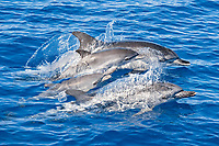 Atlantic spotted dolphin, Stenella frontalis, pair of mother and calf, two adult females and two juveniles, Azores, Atlantic Ocean