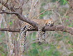 Sleepy big cat by Mohammed Shujath