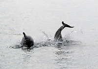BNPS.co.uk (01202 558833)<br /> Pic: TomBrereton/BNPS<br /> <br /> Pictured: Dolphins from one of the three colonies known to inhabit UK waters have become the first to swim over 800 miles to join another group, marine scientists have revealed.<br /> <br /> The two bottlenose dolphins are known to have left the Moray Firth in Scotland in 2018 and have now joined the group that inhabit the sea off the south west coast.