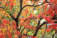 Diospyros kaki 'Fuyu'. Oriental Persimmon tree in fall color