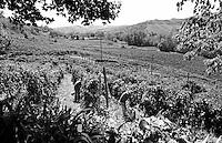 Raccolta dell'uva ai vigneti dei signori Franchini presso Montescano (Pavia) nell'Oltrepò Pavese --- Grape harvest at Franchini's vineyards near Montescano (Pavia) in the Oltrepò Pavese