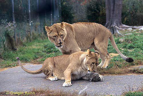 MA39-006z  African Lions - playing - Panthera leo