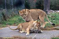 MA39-006z  African Lions - playing - Panthera leo
