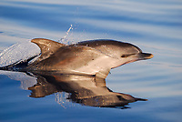 Spotted Dolphin, Stenella frontalis, surfacing juvenille, Pico-Azores-Portugal, Atlantic Ocean