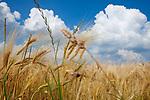 Europa, DEU, Deutschland, Nordrhein-Westfalen, Niederrhein, Agrarlandschaft, Getreidefeld, Wolken, Natur, Umwelt, Landschaft, Jahreszeiten, Stimmungen, Landschaftsfotografie, Landschaften, Landschaftsphoto, Landschaftsphotographie, Wetter, Wetterelemente, Wetterlage, Wetterkunde, Witterung, Witterungsbedingungen, Wettererscheinungen, Meteorologie, Wettervorhersage, <br /> <br /> [Fuer die Nutzung gelten die jeweils gueltigen Allgemeinen Liefer-und Geschaeftsbedingungen. Nutzung nur gegen Verwendungsmeldung und Nachweis. Download der AGB unter http://www.image-box.com oder werden auf Anfrage zugesendet. Freigabe ist vorher erforderlich. Jede Nutzung des Fotos ist honorarpflichtig gemaess derzeit gueltiger MFM Liste - Kontakt, Uwe Schmid-Fotografie, Duisburg, Tel. (+49).2065.677997, ..archiv@image-box.com, www.image-box.com]