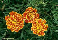 FD14-008a  Marigold - Queen Sophie variety