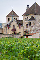 Vineyard. Cote de Nuits, d'Or, Burgundy, France