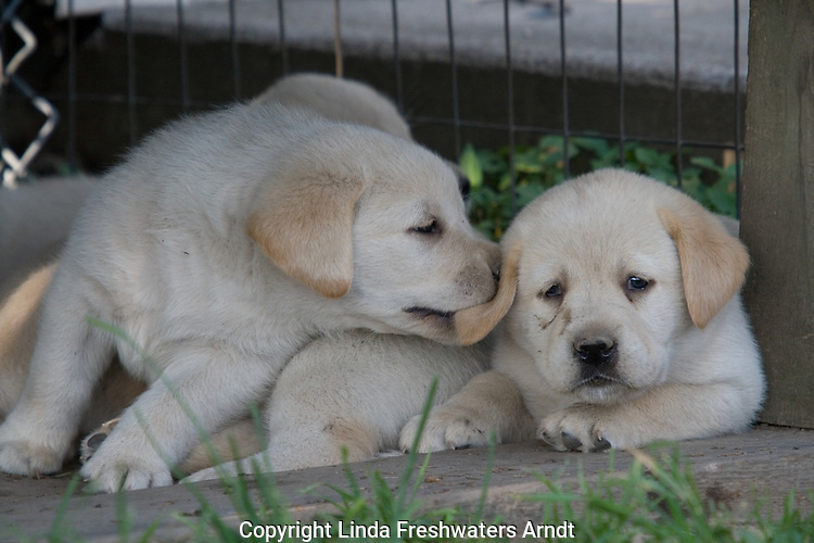 Yellow Labrador retriever (AKC) puppy biting sibling's ear