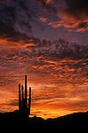 Silhouetted saguaro cactus sunset at dusk with dramatic clouds, altocumulus, Estrella Park near buckeye, Arizona State USA