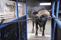 - breeding of bovines in Piacenza province, an animal is sent to the slaughter....- allevamento di bovini in provincia di Piacenza, un animale viene avviato al macello