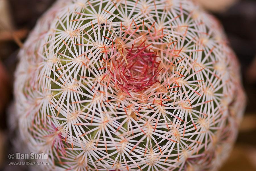 Rainbow cactus (rainbow hedgehog cactus), Echinocereus pectinatus. Near Pena Blanca Lake, Coronado National Forest, Arizona