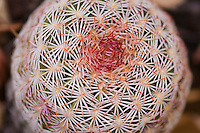 Rainbow cactus (rainbow hedgehog cactus), Echinocereus pectinatus. Near Pena Blanca Lake, Coronado National Forest, Arizona