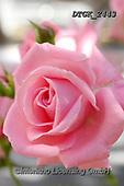 Gisela, FLOWERS, BLUMEN, FLORES, photos+++++,DTGK2443,#f#, EVERYDAY ,portrait ,roses