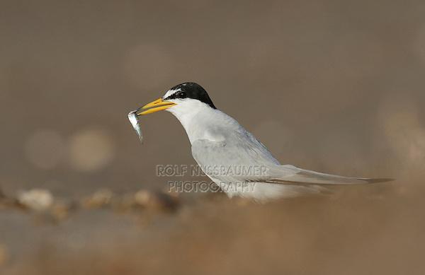 Least Tern (Sterna antillarum), adult with fish prey, Port Isabel, Laguna Madre, South Padre Island, Texas, USA