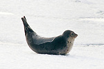 "Harp Seal Juvenile on ice floe, Quincy Bay, Massachusetts.  Displaying typical ""arch"" pose.  Harp seals are normally found in the Arctic, but occasionally venture as far south as Massachusetts.  They are usually observed resting on offshore ice floes in this region."