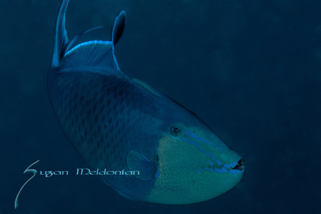 Red tooth triggerfish, Odonus niger