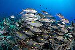 Schooling bigeye breams, Gnathodentex aureolineatus, hovering above a coral reef, Layang Layang Island, Malaysia, South China Sea, Pacific Ocean