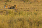 African Lion (Panthera leo) female and male in grassland, Kruger National Park, South Africa