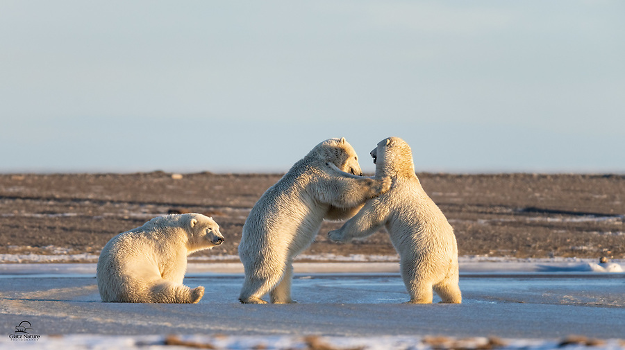 Young male Polar Bears (Ursus maritimus) gathered on the edge of the ice. Two of them are brawling - nothing serious - while the little guy on the left stares at his quarry: the backside of the bear in the middle. A moment later the back-biter reached his quarry as the other bears wrestled. These guys were so amusing.