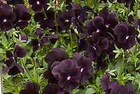 Viola Sorbet Black Delight black flowers