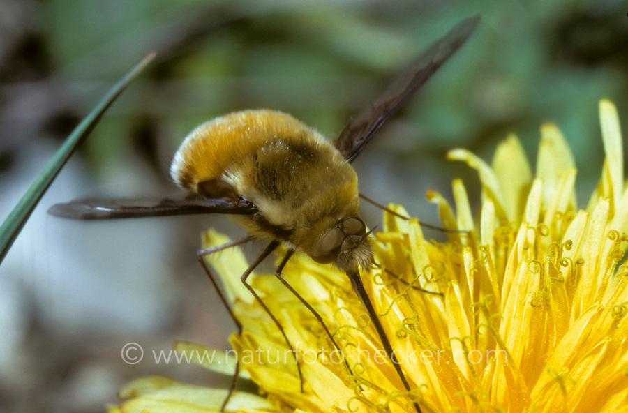 Großer Wollschweber, Hummelschweber, Bombylius major, Large Bee-fly, beeflies, beefly, Le grand bombyle, Bombyliidae