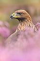 Golden Eagle {Aquila chrysaetos} male in purple heather. Captive, UK.