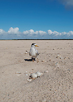 Least Tern at nest, South Padre Island