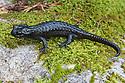 Alpine Salamander {Salmandra atra} Triglav National Park, Julian Alps, Slovenia, July.
