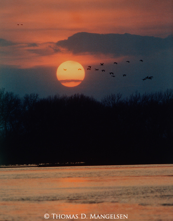 As the sun sets, sandhill cranes return to the shallow water of the Platte to roost for the night.