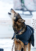 A dog howls in the dog lot in Nome during the 2017 Iditarod on Friday March 17, 2017.<br /> <br /> Photo by Jeff Schultz/SchultzPhoto.com  (C) 2017  ALL RIGHTS RESERVED
