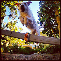 Our dog willow jumps over a pole in our backyard. Instagram photo from bcpix.com. (Photo by Brian Cleary/www.bcpix.com)